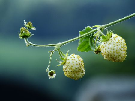 wild strawberry: wild strawberry Stock Photo
