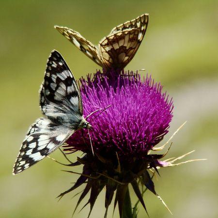 thistles:  Butterflies on flower