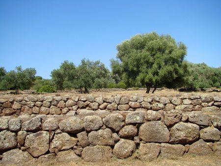 olive trees                        photo