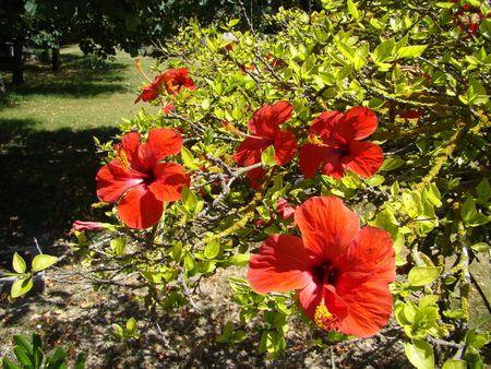 rosemallow: red rosemallow