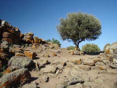 sardinia: olive tree Stock Photo