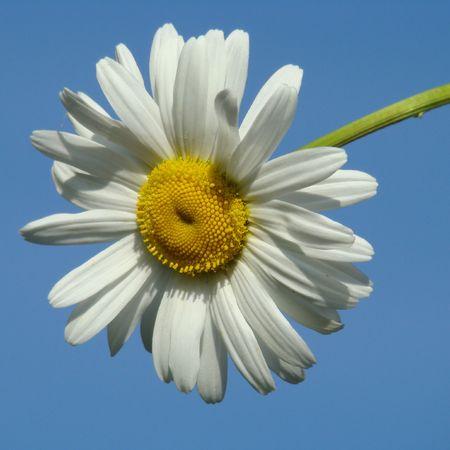 margriet: witte margriet