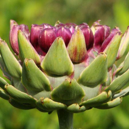 potherb: flor de alcachofa