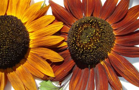 colorful sunflowers closeup                          photo