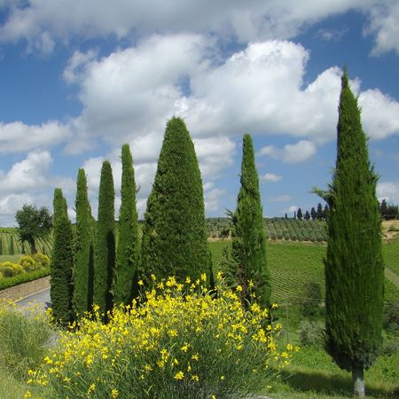 yellow broom and cypresses in tuscan farmland                                photo