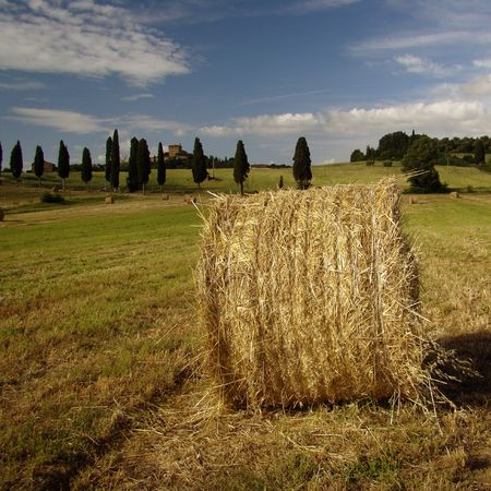 orcia: harvest in Tuscany