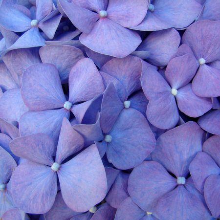 hydrangea macrophylla:  macro of hortensia flower                                Stock Photo
