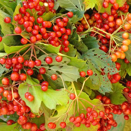 guelder:     Guelder Rose in autumn                                Stock Photo