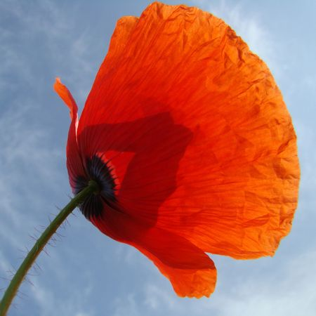 red poppy isolated on sky                                Stock Photo - 5547562