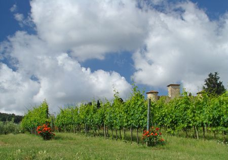 italian vineyard                                photo