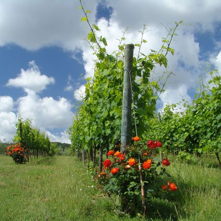 tuscan vineyard flowery with roses                                photo