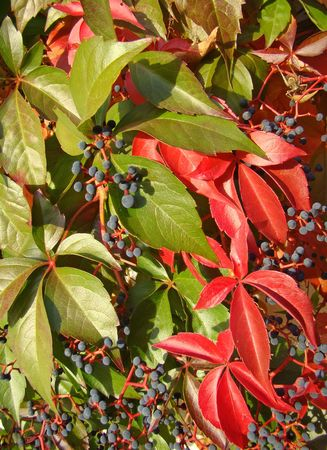 Virginia creeper in autumnal colors                               photo
