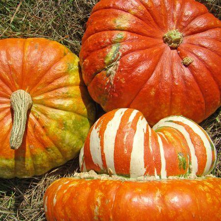cucurbit:   decorative pumpkins