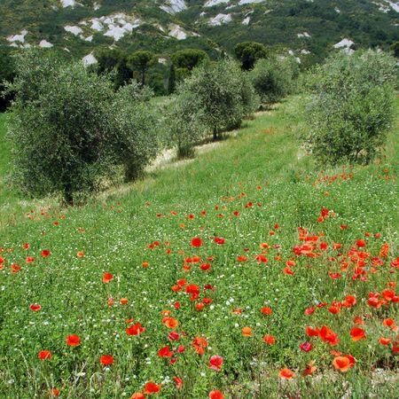 olive plantation in spring, Italy                                photo
