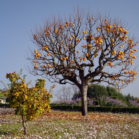 persimmon:   Persimmon tree with mature orange fruits, Tuscany (and small willow-leafed pear )                              Stock Photo