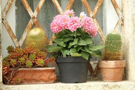 parapet: cacti on parapet, Tuscany  Stock Photo
