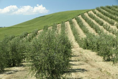 Olive tree  rows in tuscan countryside, Italy photo