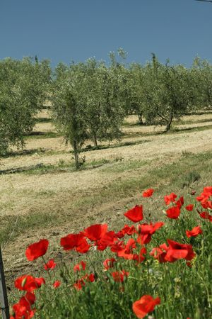 poppies in mediterranean countryside, Italy photo