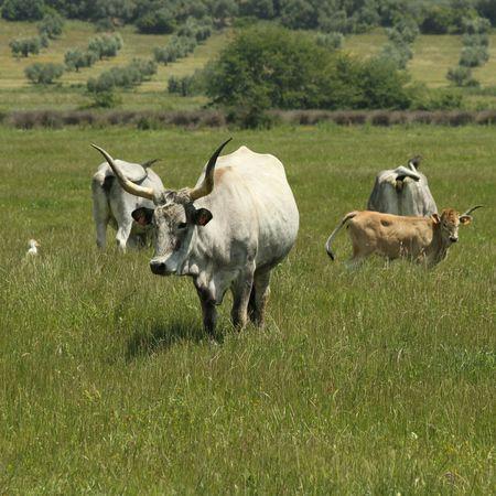 Maremmana : breed of cattle reared in the Maremma - region of Tuscany and Lazio, Italy  photo