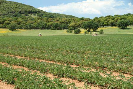 tomato field in Tuscany in springtime