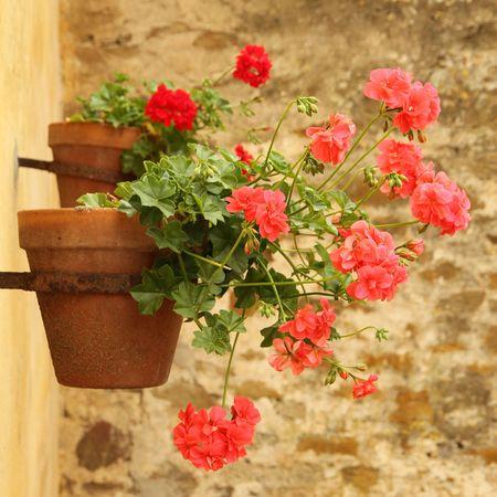 geranium color: sweet flowerpot