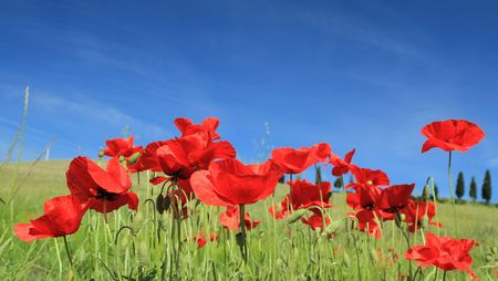 redness: red poppies on sky, Tuscany