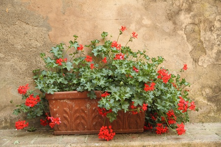 red geranium in terracotta pot in front of antique wall, Tuscany Stock Photo