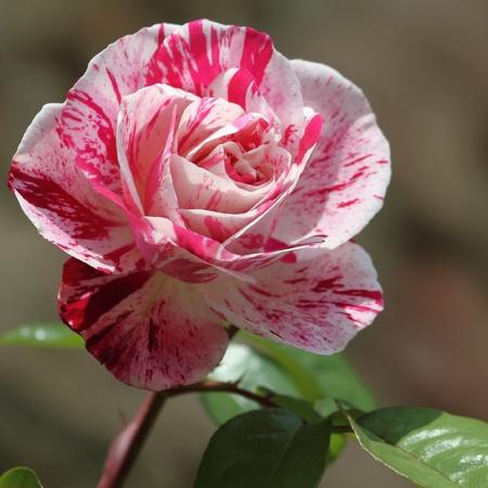 striped rose - George Burns rose photo