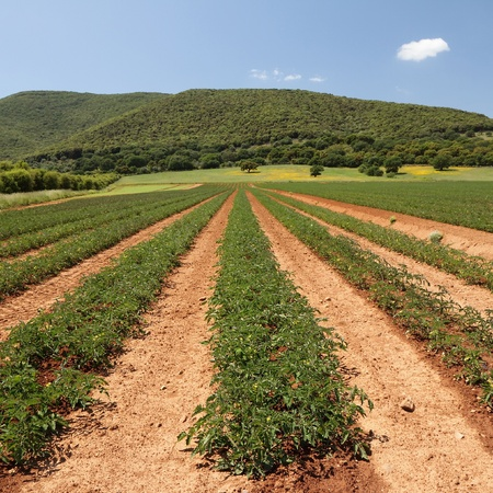 land of growing tomatoes in spring, Italy