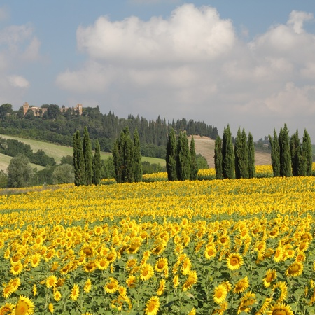 sunflowers field: tuscan scenery with sunflowers and cypresses, Italy