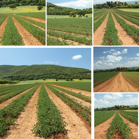 organic farming: collage with tomato fields in springtime in Tuscany, Italy