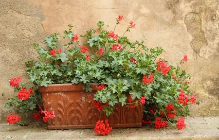 red geranium in terracotta box, Italy