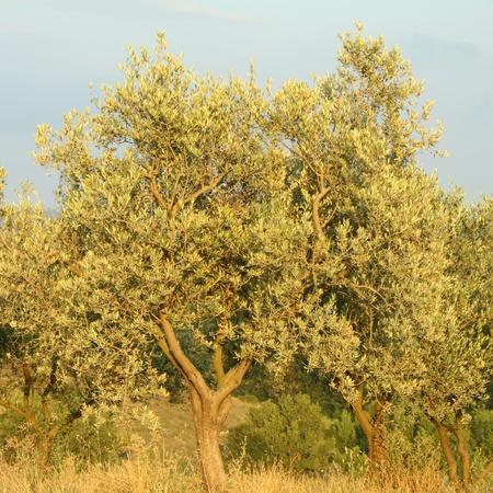 olive trees at sunset time, Tuscany, Italy photo