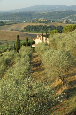 toscana: olive grove in tuscan farmland in early morning light,  Italy Stock Photo
