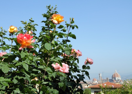 patrimony: rose in garden with view of monumental Florence, Italy