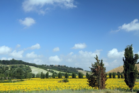 landscape with flowering sunflowers field in Tuscany, Italy, Europe Stock Photo - 10824909