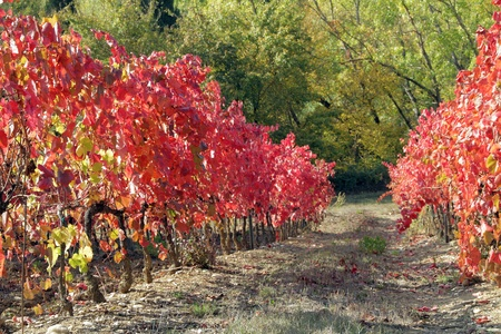 french countryside: red foliage of viticulture in autumn, Tuscany, Italy,Europe Stock Photo
