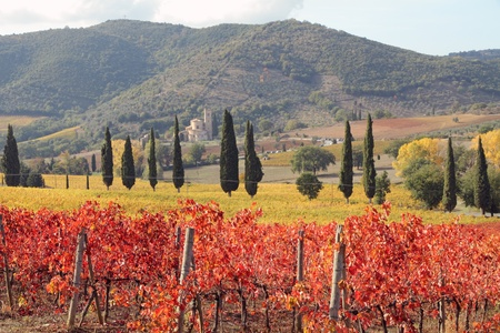 antimo: fantastic landscape of tuscan vineyards in autumn, at horizon St. Antimo Abbey , Italy, Europe  Stock Photo