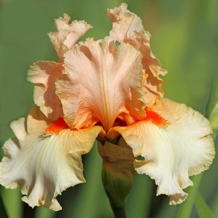 bearded iris: orange  bearded iris, Giardino dell Iris in Florence, Italy