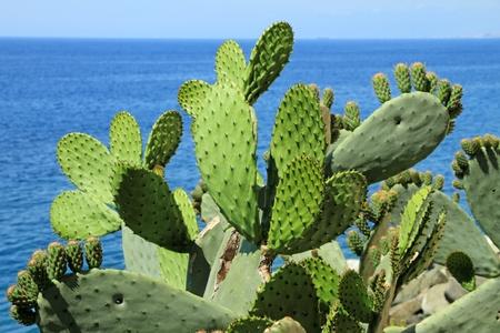 Opuntia ficus-indica (ook genoemd als Indiase vijg opuntia, Barbary Fig, cactusvijg) en blauwe zee op de achtergrond, Italië