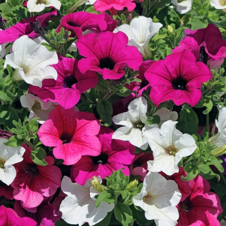 white and purple petunia flowers as background Stock Photo