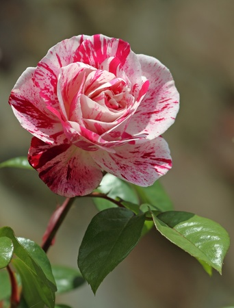 pink and white rose photo