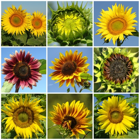 flowering sunflowers collage photo