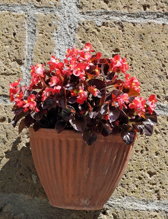 red begonia in pot on wall, Tuscany photo