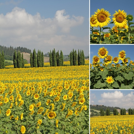 sunflower field: images from   Tuscany, Italy, Europe