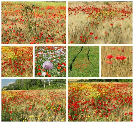 corn flower: collage with  rural images with flowering poppies on fields in Tuscany, Italy, Europe Stock Photo
