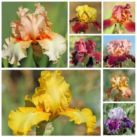 bearded iris: collage with bearded iris flowers, images from garden of iris in Florence Stock Photo