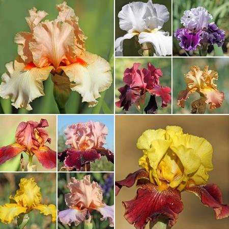 bearded iris: collage with bearded iris flowers Stock Photo