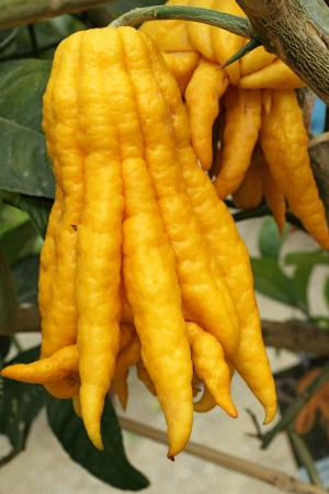 fragrant Buddha's hand or fingered citron fruit, Citrus medica