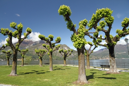 Trees in te park on Punta Spartivento in Bellagio with  superb view of the lake Como,  Lombardy,  Italy,  Europe photo
